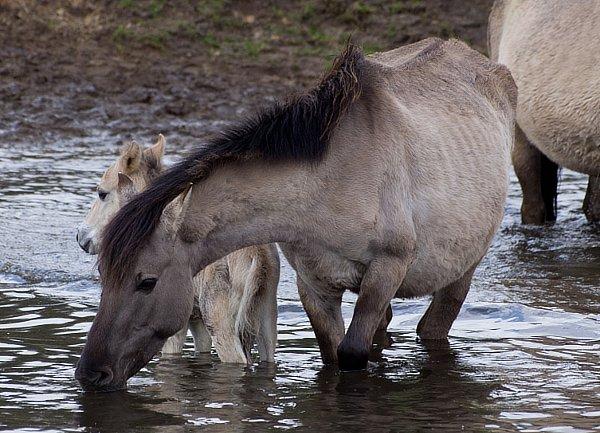 Nach dem Winter, nach einer großen Anstrengung, können Pferde sehr dünn werden.