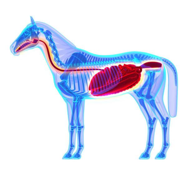 Das Verdauungssystem des Pferdes