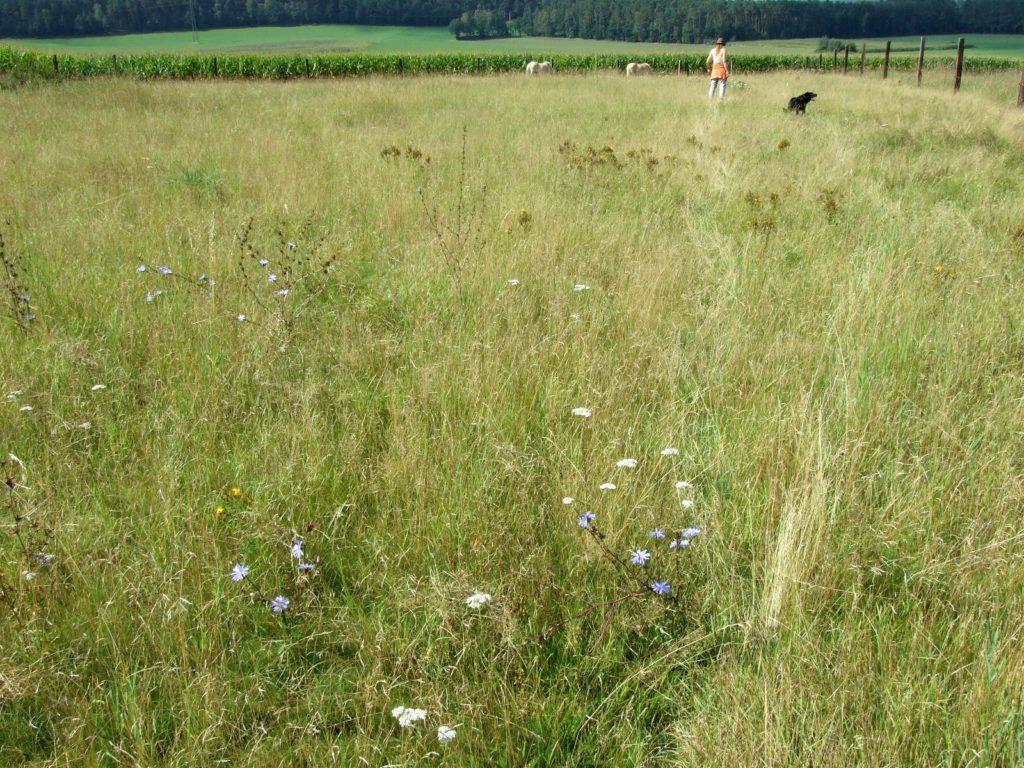 Eine über viele Jahre gewachsene Kräuterwiese.